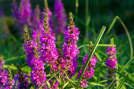 Orchis is a genus in the orchid family, occurring mainly in Europe and Northwest Africa, and ranging as far as Tibet Mongolia and Xinjiang.The name is from the Ancient Greek  orchis meaning testicle