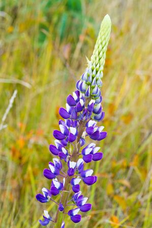 Lupinus, commonly known as lupine or lupine, Seeds of various species of lupines have been used in reaching more than 3,000 years around the Mediterranean and up to 6,000 years in the Andes.