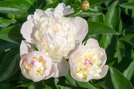 Peony or paeony is a flowering plant in the genus Paeonia, the only one in the family Paeoniaceae. native to Asia, Europe and Western North America. are among the most popular garden plants