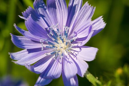 Blue cornflower Its popularity in the United States, Canada, Britain and Australia was so high that it became a symbol of Corning Glass Works.