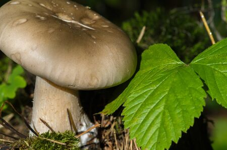 Autumn photography, Mushrooms Latin Fungi or Mycota is a realm of wildlife, uniting eukaryotic organisms that combine some of the signs of both plants and animals. Foto de archivo