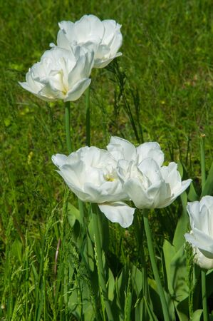 Tulips. A bulbous spring-flowering plant with boldly colored cup-shaped flowers.