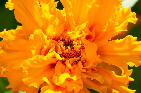 marigold The most commonly cultivated varieties  Tagetes are known variously as African marigolds or French marigolds The so-called signet marigolds are hybrids derived mostly from Tagetes tenuifolia Stock Photo