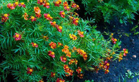 Souci Aucune annuelle n'est plus gaie ou plus facile à cultiver que les soucis. Ces fleurs sont les dépensières parmi les annuelles, apportant une richesse d'or, de cuivre et de laiton dans nos jardins d'été et d'automne