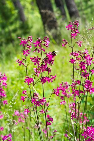 Silene viscaria, the sticky catchfly or clammy campion, is a flowering plant in the family Caryophyllaceae.  contains a relatively high amount of brassinosteroids 版權商用圖片