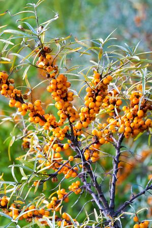 sea buckthorn. Different parts of sea buckthorn have been used as folk medicine, Berry oil, either taken orally as a dietary supplement or applied topically, is believed to be a skin softener