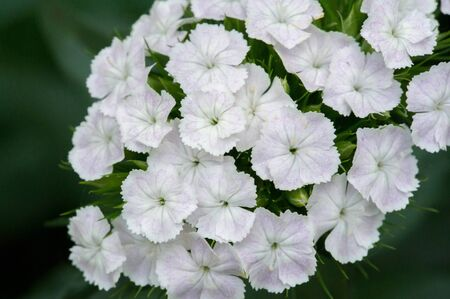 Alyssum flowers are characteristically small and grouped in terminal clusters; they are often yellow or white colored but can be pink or purple.