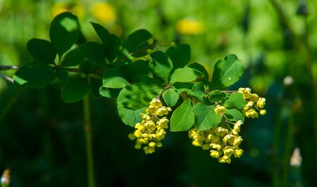 Berberis vulgaris,  European barberry or simply barberry, is a shrub in the genus Berberis. It produces edible buty acid acid berries. It is cultivated for its fruits in many countries. Banco de Imagens