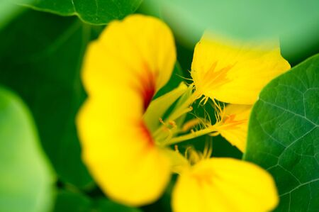 Tropaeolum, commonly known as nasturtiums literally nose twister  native of South and Central America, The flowers are bisexual and zygomorphic,