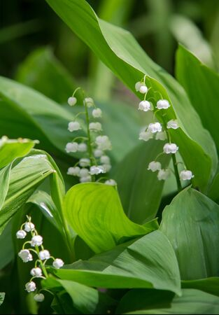 ily of the valley a widely cultivated European plant of the lily family, with broad leaves and arching stems of fragrant, bell-shaped white flowers. may-lily Imagens