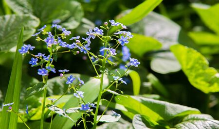 Myosotis In the northern hemisphere, they are colloquially labeled forget-me-nots or scorpions. Myosotis alpestris - the state flower of Alaska and Dlesland, Sweden Standard-Bild