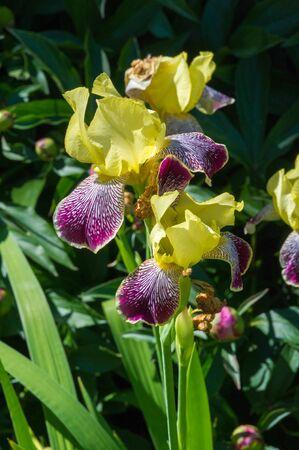 Iris is the national flower of Croatia. the national flower of Jordan. Iris bismarciana, is a symbol of the city of Upper Nazareth