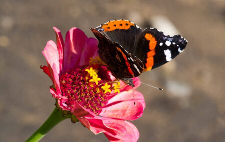 flower Zinnia They are native to the scrub of the Southwest United States to South America with a center of diversity in Mexico Butterfly Vanessa atalanta the red admiral or previously red admirable