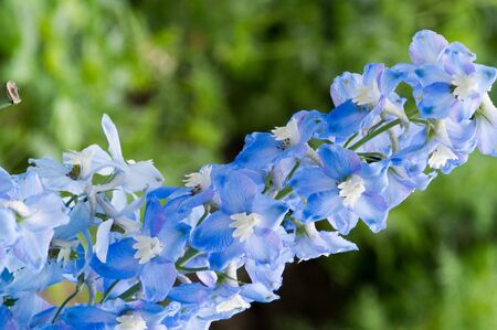 Delphinium is a genus of about 300 species of perennial flowering plants in the family Ranunculaceae, native throughout the Northern Hemisphere and also on the high mountains of tropical Africa. Stock Photo