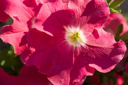 Petunia The Mayan and Incas believed that petunias have the power to chase away (with their odor) the underworld monsters and spirits. Their flower-beds were bunched together for magical drinks. Stock Photo