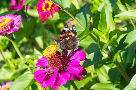 flower Zinnia They are native to the scrub of the Southwest United States to South America with a center of diversity in Mexico Butterfly Vanessa atalanta the red admiral or previously red admirable Reklamní fotografie