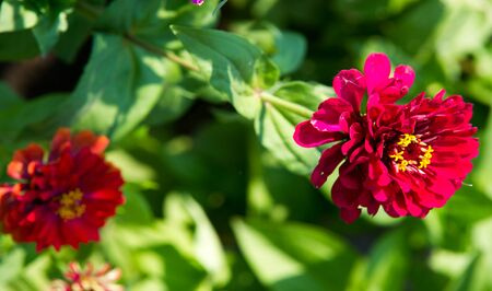 Zinnias are annual plants, shrubs and sub-shrubs growing mainly in North America, Zinnias can be white, greenish yellow, yellow, orange, red, purple or lilac.