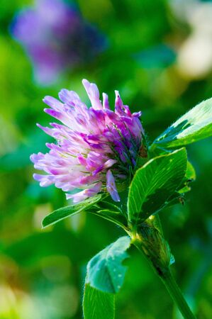 clover A variety of forage grass with flowers in the form of a globular head. a herbaceous plant of the pea family that has dense, globular flower heads, and leaves that are typically three-lobed