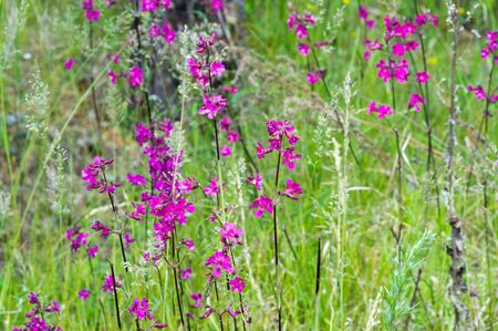 Silene viscaria, the sticky catchfly or clammy campion, is a flowering plant in the family Caryophyllaceae. contains a relatively high amount of brassinosteroids