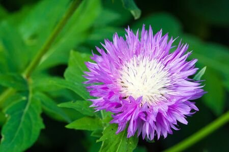 Blue cornflower Its popularity in the United States, Canada, Britain and Australia was so high that it became a symbol of Corning Glass Works. Stock Photo