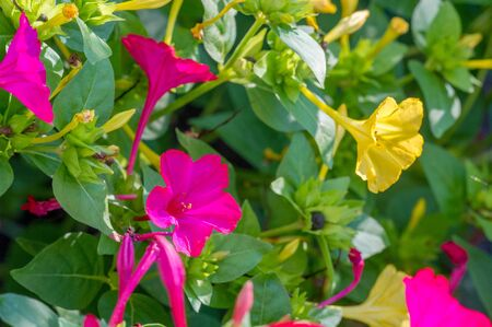 Mirabilis jalapa, the miracle of Peru or a four-hour flower, is the most common ornamental species of the Mirabilis plant and is available in various colors. Mirabilis jalapa cultivated the Aztecs 版權商用圖片