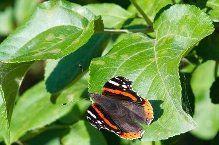 Vanessa Atalanta, Red Admiral oder früher, rot, entzückend, ist ein gut charakterisierter mittelgroßer Schmetterling mit schwarzen Flügeln, orangefarbenen Streifen und weißen Flecken. Es hat eine Flügelspannweite von etwa 2 Zoll.