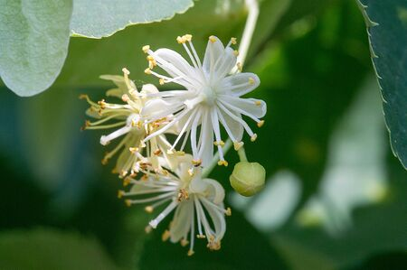A flower of a linden tree. The genus is commonly called lime in the United Kingdom and North America. Nectar-forming flowers, medicinal herb lime. monoflorn honey. teas and tinctures