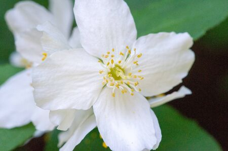 Philadelphus They are named mock-orange in reference to their flowers, which in wild species look somewhat similar to those of oranges and lemons Citrus at first glance,  flowers and jasmine Jasminum
