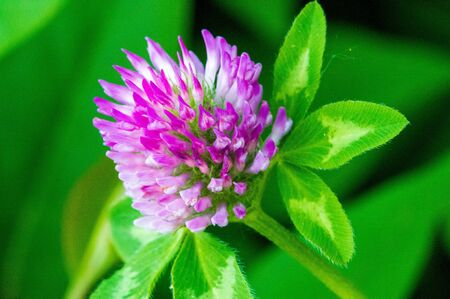Clover flower, trefoil three-lobed cloverlike leaves. a herbaceous plant of the pea family that has dense, globular flower heads, and leaves that are typically three-lobed.