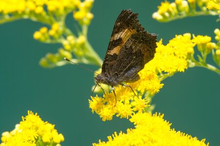 flower of Solidago commonly called goldenrods comes from North America including Mexico native to South America and Eurasia Butterfly Vanessa atalanta the red admiral or previously the red admirable Reklamní fotografie