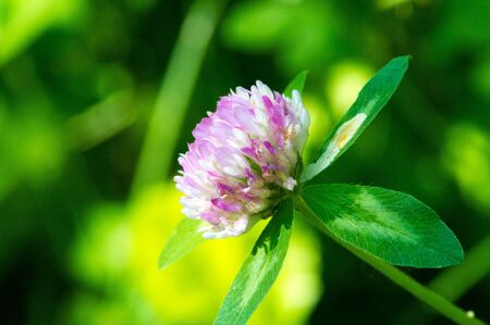 clover a herbaceous plant of the pea family that has dense, globular flower heads, and leaves that are typically three-lobed. It is an important and widely grown fodder and rotational crop.