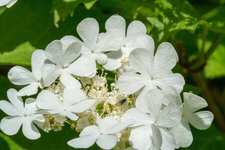 flowers of a viburnum. The flowers are produced in corymbs 5-15 cm across, each flower white to cream or pink, small, 3-5 mm across, with five petals, strongly fragrant in some species.