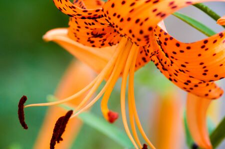 Lilium lancifolium  is an Asian species of lily, native to China, Japan, Korea, and the Russian Far East. It has been taken to be in the north of North America especially in New England Stock Photo