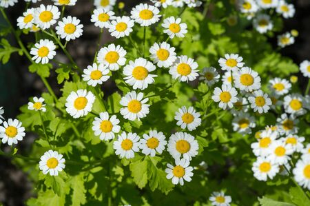 Chamomile. Extract of Italian chamomile Matricaria recutita is considered strong tea. It was used in phytotherapy as antimicrobial and anti-inflammatory. It is also used in ointments and lotions, infections
