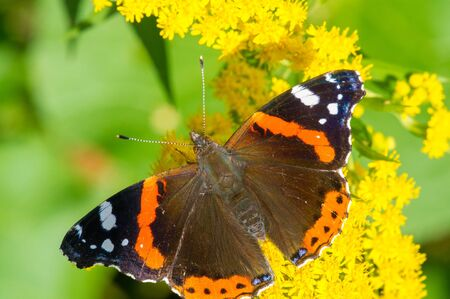Solidago, commonly called goldenrods, used in a traditional kidney tonic by practitioners of herbal medicine to counter inflammation. butterfly Vanessa atalanta, the red admiral