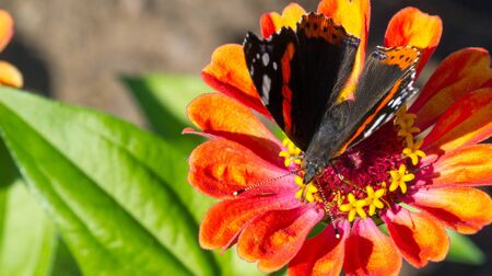 flower Zinnia They are native to the scrub of the Southwest United States to South America with a center of diversity in Mexico Butterfly Vanessa atalanta the red admiral or previously red admirable Stock Photo