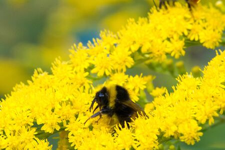 The Saltago flower, commonly called a golden tree, comes from North America, including people from Mexico to South America and Eurasia. bred bumble bee a large hairy bee with a loud hum,