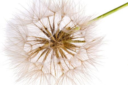 dandelion A number of species of Taraxacum are seeds dispersed by ruderal substances that quickly colonize disturbed soil, especially the usual dandelion (T. officinale),