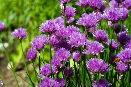 Chives Allium schoenoprasum, in the home gardens. In culinary use, osprey and unopened immature flower buds are cut into cubes and used as an ingredient for fish, potatoes, soups Reklamní fotografie