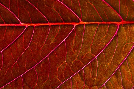 A beautiful plant with red leaves. From above against the light
