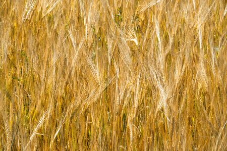 Summer photography. The wheat field, the cereal plant, which is the most important species grown in temperate countries, the grain of which is crushed to make flour for bread, pasta, confectionery Stockfoto