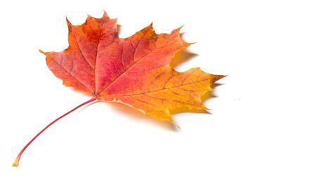 Autumn colorful maple leaf