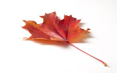 Autumn painting, Autumn maple leaves, different colors. Yellow, red, burgundy, green, orange,