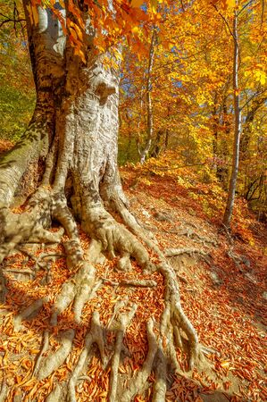 Photos of the Crimean peninsula in the fall, beech-hornbeam forest. It grows at an altitude of 650-700 m, forests of rocky oak are replaced by beech and hornbeam. soil and water conservation Stock fotó