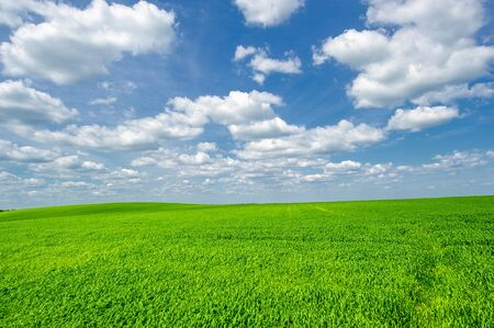 Summer landscape, Green wheat cereal crops growing in cultivated field, plants swaying in the wind Фото со стока
