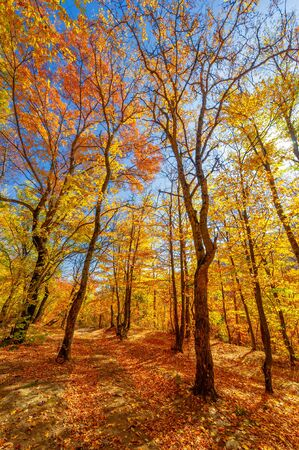 Photos of the Crimean peninsula in the fall, beech hornbeam forest. It grows at an altitude of 650-700 m, forests of rocky oak are replaced by beech and hornbeam. soil and water conservation