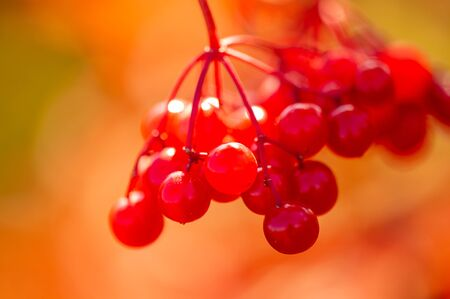 blurry photo, shallow depth of field. Autumn red viburnum,  Its modern classification is based on molecular phylogeny. It was previously included in the Honeysuckle family Caprifoliaceae.