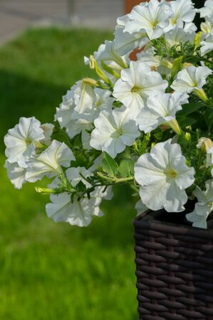 """Petunia is of South American descent. A popular flower of the same name came from the French, who took the word petun, which means """"tobacco,"""" from the Tupi language - guarani."""