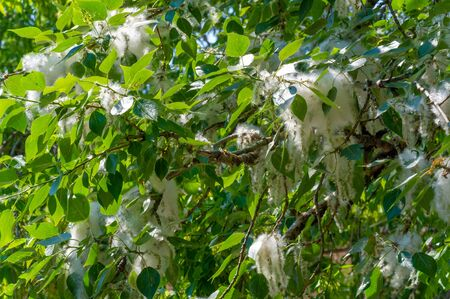 Poplar fluff is not to blame for allergies; it's more a nuisance than a health hazard. He is going to snow drifts. An ideal urban tree, it absorbed four times more carbon dioxide than other species Stock fotó
