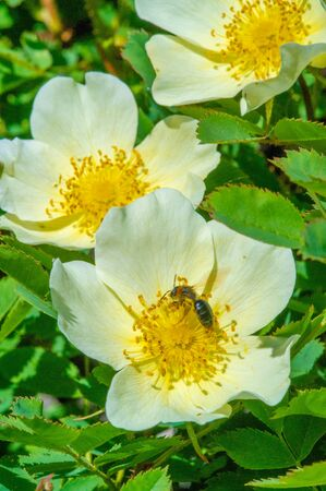 Rosa canina - Flowers are usually large and showy, from white to yellow and red. Most species are native to Asia, with smaller numbers native to Europe, North America, and northwest Africa.